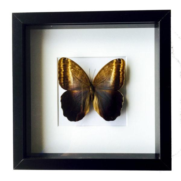Vlinder Caligo Illioneus Praexiodus in glaslijst