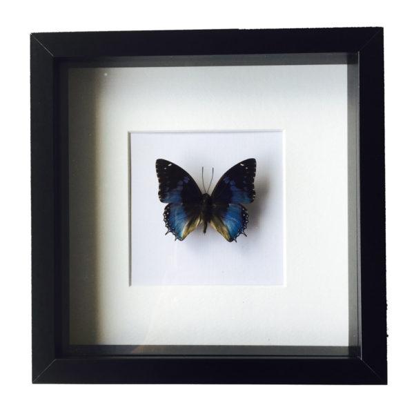Vlinder Charades Smaragdalis in glaslijst