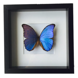 vlinder morphy didius
