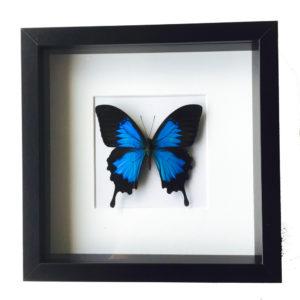 Vlinder Papilio Ulysses in glaslijst