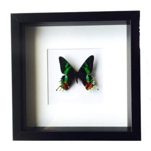 Vlinder Urania Ripheus in glaslijst
