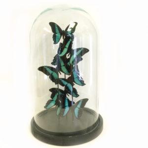 Vlinders Papilio Bromius