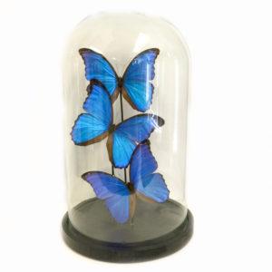 Vlinders Morphy